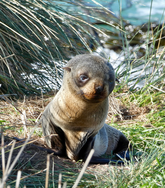 fur seal pup natures wonders