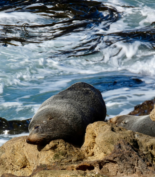 fur seals natures wonders